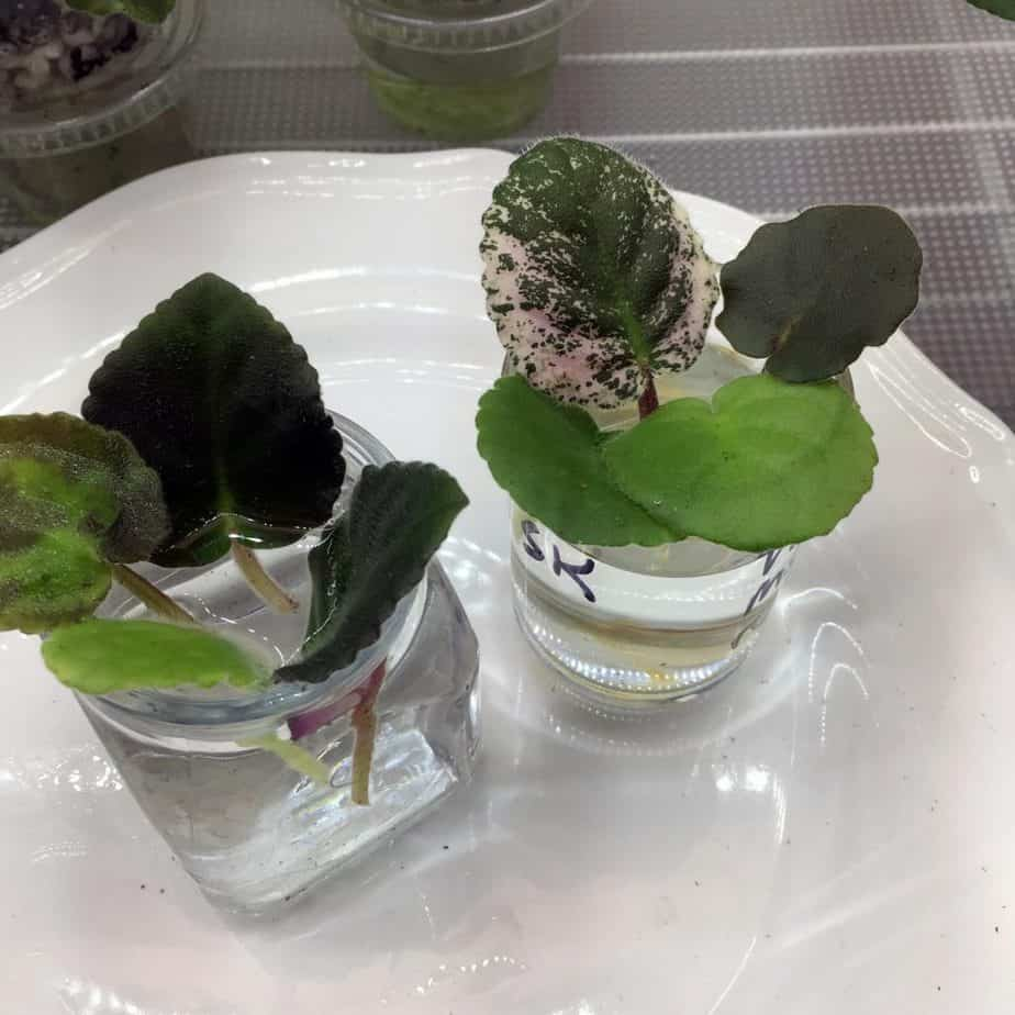 propagating african violets in water