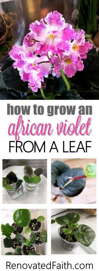 What I love most about African violets is starting out baby plants from leaves. It is exciting to see tiny leaves pop up from a leaf and eventually bloom for the first time! Because this is my favorite aspect of our hobby, I've had a lot of practice to show you to grow an African violet from a leaf. #africanviolets #avsa #blissstreetvioletry #renovatedfaith #leafpropagation