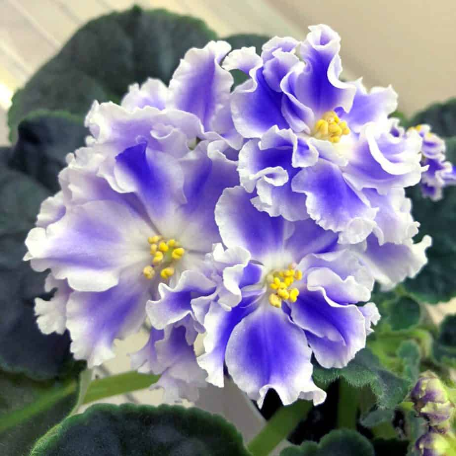 how to propagate african violets in water